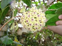 Hoya Coriacea