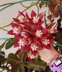Hoya Imperialis Red