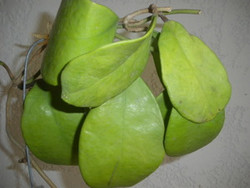 Hoya Excavata