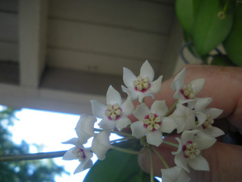 Hoya Australis ssp Australis Brookfield. Easy to grow fast bloomer great for the beginner.