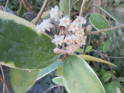 Hoya Parasitica varigated