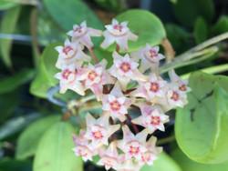 Hoya Acuta Pink (clone)