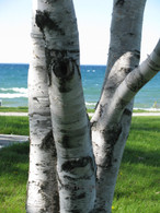 """Birch Point"" Photograph"