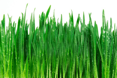 wet wheat grass in our greens drink