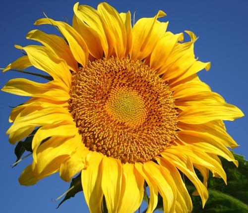 grey-stripe-sunflower.jpg