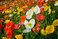 Poppy Mix - Eschscholzia Seed