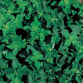 Oregano, Greek (Heracleoticum) Herb Seed