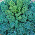 Vates, Blue Curled Scotch Kale Seed