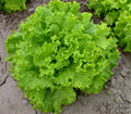 Grand Rapids TBR Leaf Lettuce Heirloom Seed