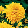Sungold Tall Sunflower Heirloom Seed