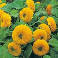 Sungold Dwarf Teddy Bear Sunflower Heirloom Seed