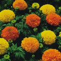 Marigold - Crackerjack Mix Seed