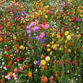 Annual Perennial Flower Mix - 1/2 Pound