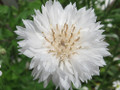 Bachelor Button (Centaurea cyanus) Tall White Seed