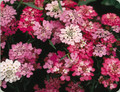 Candytuft, Tall Mix Seed
