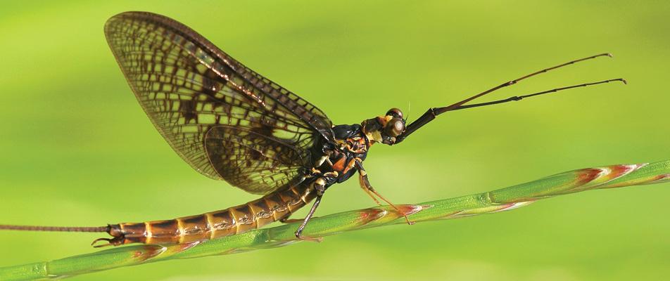 mayfly-on-stick.jpg