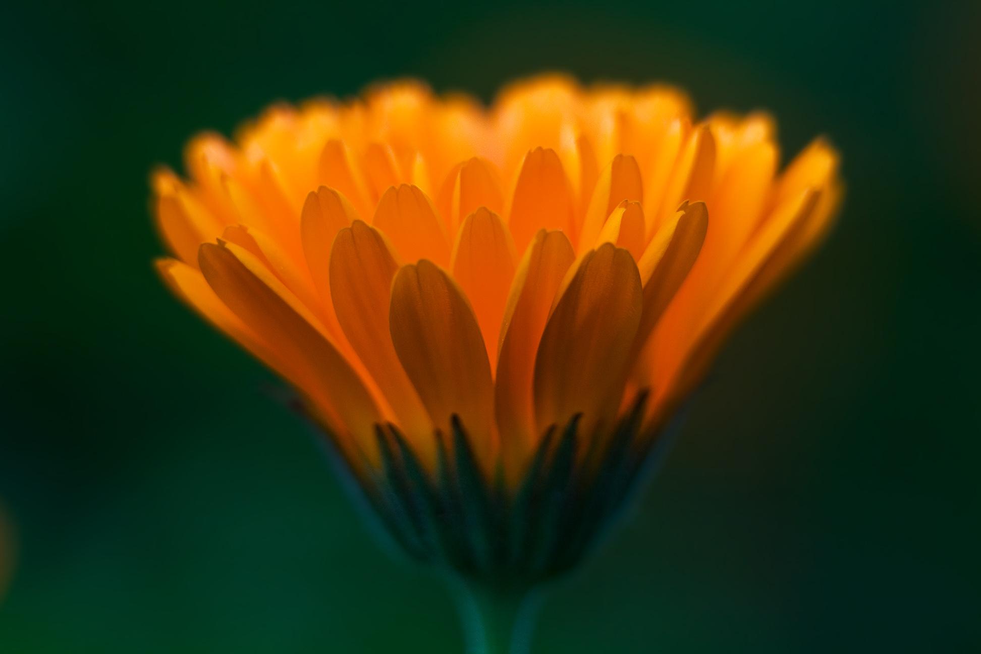 calendula-officinalis-2.jpg