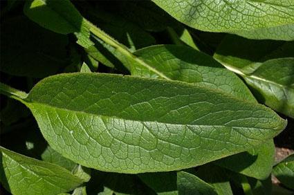comfrey-leaf.jpg