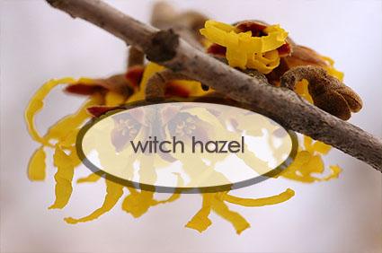 witch-hazel.jpg