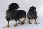 Black Sex-Link Pullets (In Store Only) $2.85 each