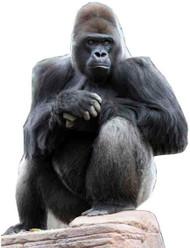Gorilla - Lifesize Cardboard Cutout / Standee