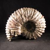 RARE Chambered Tractor Ammonite - FAMM130