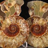 Ammonite Pair - FAMM134