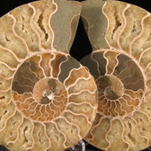 Ammonite Pair - FAMM135