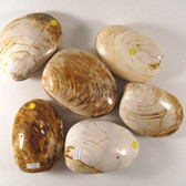ECONOMY Fossilized Bivalve / Clam, 1 (one) piece, Madagascar - STK0013