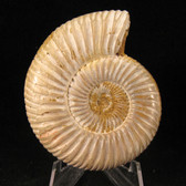 Polished White Ammonite -  FAMM109