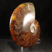 Whole Sutured Ammonite - FAMM103