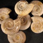 Rare Polished White Ammonite - 1 piece 2.5 - 2.75 inches