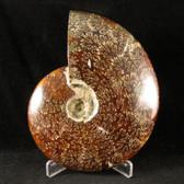 Whole Sutured Ammonite - FAMM097