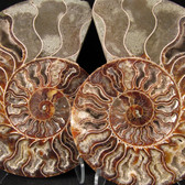 Ammonite Pair - FAMM094
