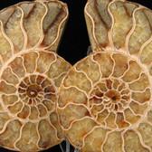 Ammonite Pair - FAMM093