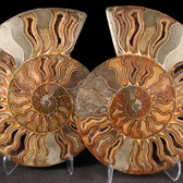 Ammonite Pair - FAMM087