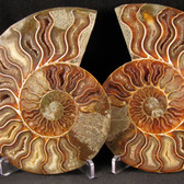Ammonite Pair - FAMM084