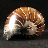 Whole Nautilus - FNAU017