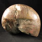 Whole Nautilus - FNAU015