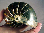 Whole Nautilus - FNAU006