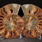 Ammonite Pair - FAMM111
