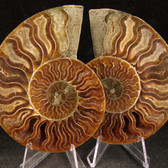 Ammonite Pair - FAMM114