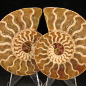 Ammonite Pair - FAMM115