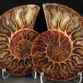 Ammonite Pair - FAMM117