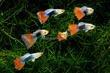 GUPPY-TURQUOISE REDTAIL MALE