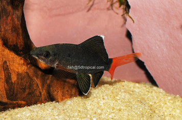 SHARK-REDTAIL BLACK  2.5""