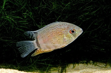 CICHLID-SEVERUM RED SPOT TURQ MED