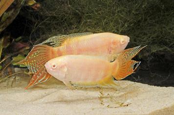 PARADISE FISH - ALBINO