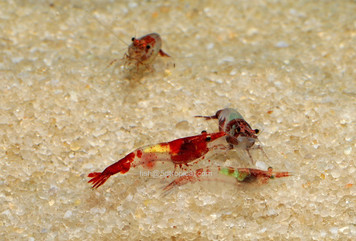 SHRIMP - RILI RED