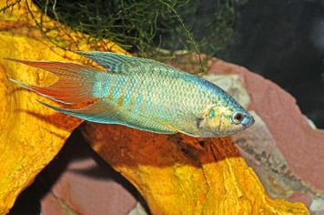 PARADISE FISH - BLUE